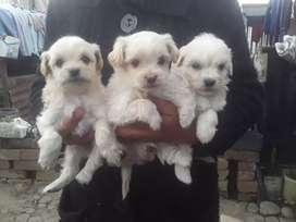 Se vende cachorritos shitzu