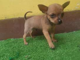 Cachorrro chihuhua
