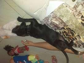 Vendo perro pit bull 4 meses