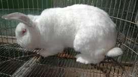 Conejos gigantes de todas las razas