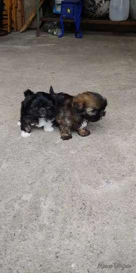 Shih Tzu cachorros la pareja