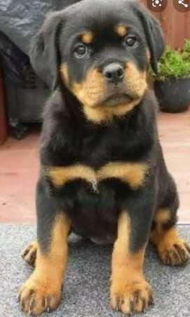 Adopto cachorro sea pastor Alemán O Rottwieler