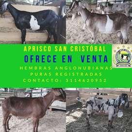 Venta de cabras Anglonubianas puras lecheras