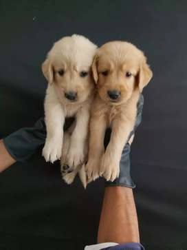 Seleccionados golden retriever amistosos