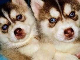siberian husky cachorras. siberiano