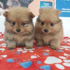 Lindos cachorritos pomerania lulú con 46 días