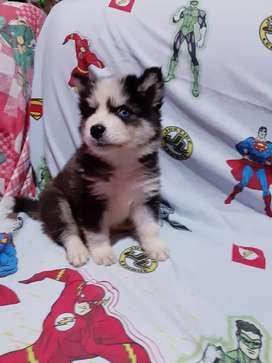 Cachorro Husky Siberino