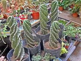 cactus espiralados grandes