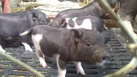 Vendo cerditos  mini pig vacunados y purgados