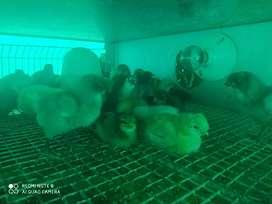 Pollas criollas huevo azul