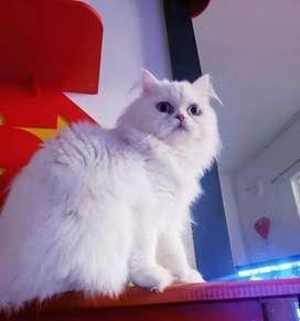Servicio de monta gato persa exótico