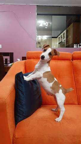JACK RUSSELL TERRIER - CACHORROS