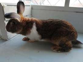 Conejos híbrido de Gigante en Bogota