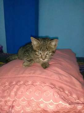 Se regala gatito tigrillo personas responsables porfavor