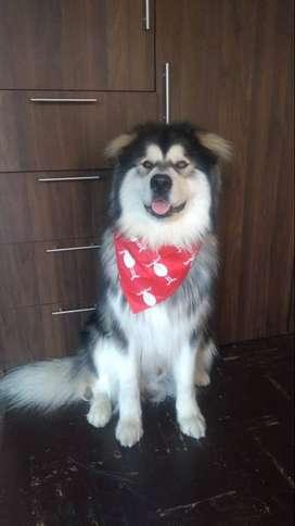 Pañoletas para perros