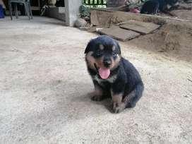 Vendo Cachorros Rottweiler