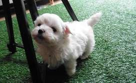 MALTES MINIATURA PATAS CROTICAS CABELLO LARRGO Tenemos los mas bello cachorro con garantia de pureza 100%, niñas y niños