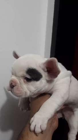 Bulldog francés hembrita  fca