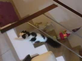 Adopción de gato