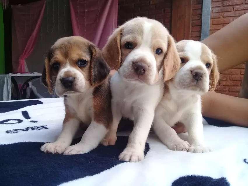 Cachorros Beagles 0