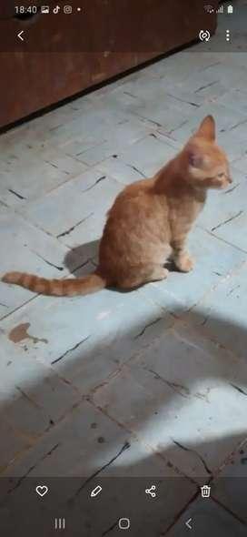 Se da en adopción dos gatitos de 3 meses de nacidos