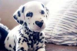 dalmata perritos de clase gran presencia y porte de bella apariencia