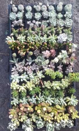 Plantas mini suculentas de 5 y 6 Cms pack por 128 unidades
