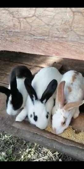 conejos criadero