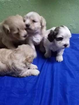 Se venden lindos cachorritos pudle mini toy