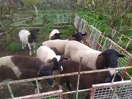 Venta de ovejas dorper