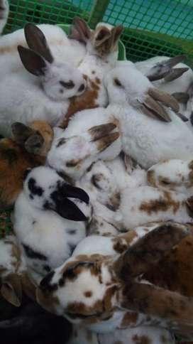 Vendo Conejos Rex Pie de Cria