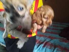 Chihuahua elo largo