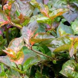 Alternanthera planta.