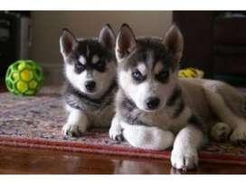 Sport huskies siberianos ambos sexo