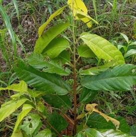 Se vende una hictaria de cacao