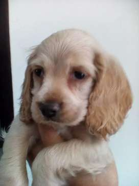 Se vende cocker spaniel