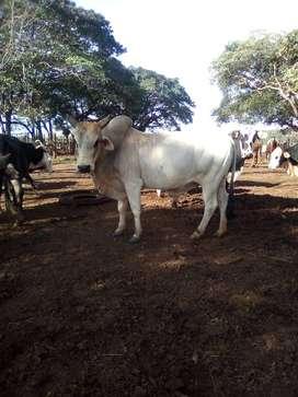 Vendo  toro cebu