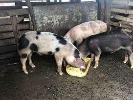 Venta de cerdos 150 días
