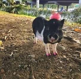 mini pig.hembra