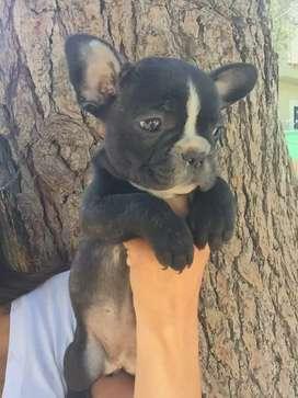 Bulldog frances gen blue