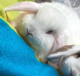 Holland lop macho