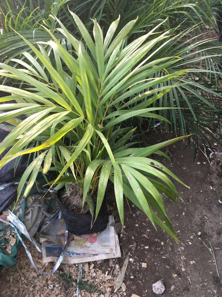 palmera hawaiana para jardín