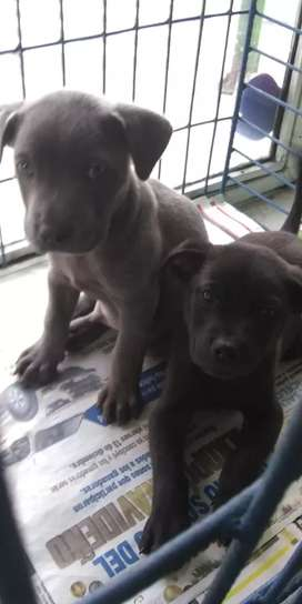 Vendo hermosos pitbull