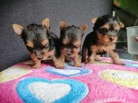 Bellísimos cachorros Yorkshire terrier miniaturas