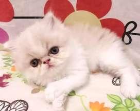 Hermoso gatitos persa