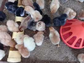 Venta de Pollos Pollitos