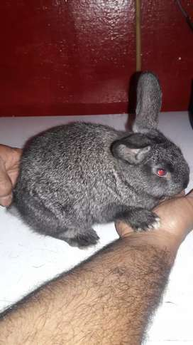 Vendo conejitos tienen un mes