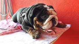 Servicio de Stud Bulldog Ingles Tricolor
