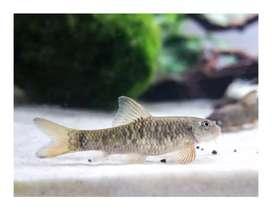 Pez garra rufas o pez doctor fish originales importados
