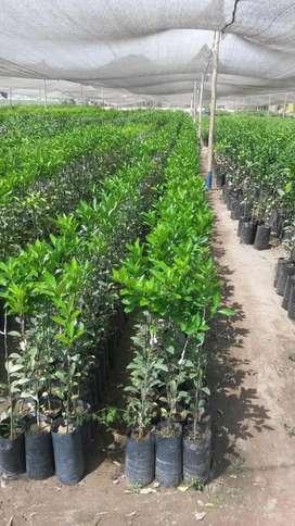 Plantas de Citricos Vivero